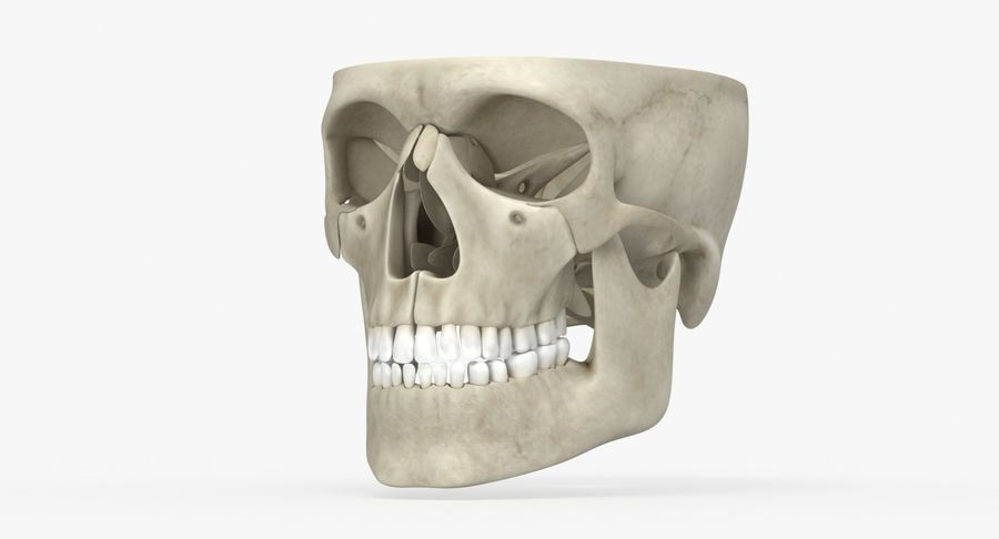 Skull Anatomy royalty-free 3d model - Preview no. 7