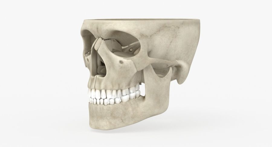 Skull Anatomy royalty-free 3d model - Preview no. 2