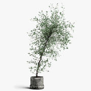 corocia plant 3d model