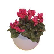 Siklamen Blume 3d model