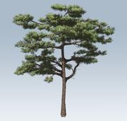 黄山松 3d model