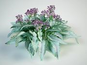 lungwort Pulmonaria hybrid 3d model