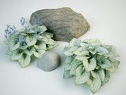 Brunnera macrophylla jack frost 3d model