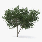 Small Evergreen Tree 3D 모델 3d model