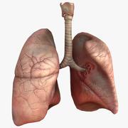 HQ Human Lungs 3d model