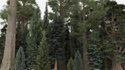 40夏の針葉樹 3d model