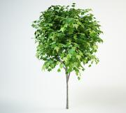 red maple acer rubrum 2,5m 3d model
