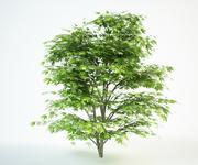 klon japoński 3 m, acer palmatum 3d model
