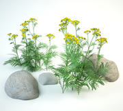 2 tansy set Tanacetum vulgare 3d model