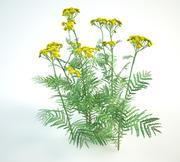 tansy set Tanacetum vulgare 3d model