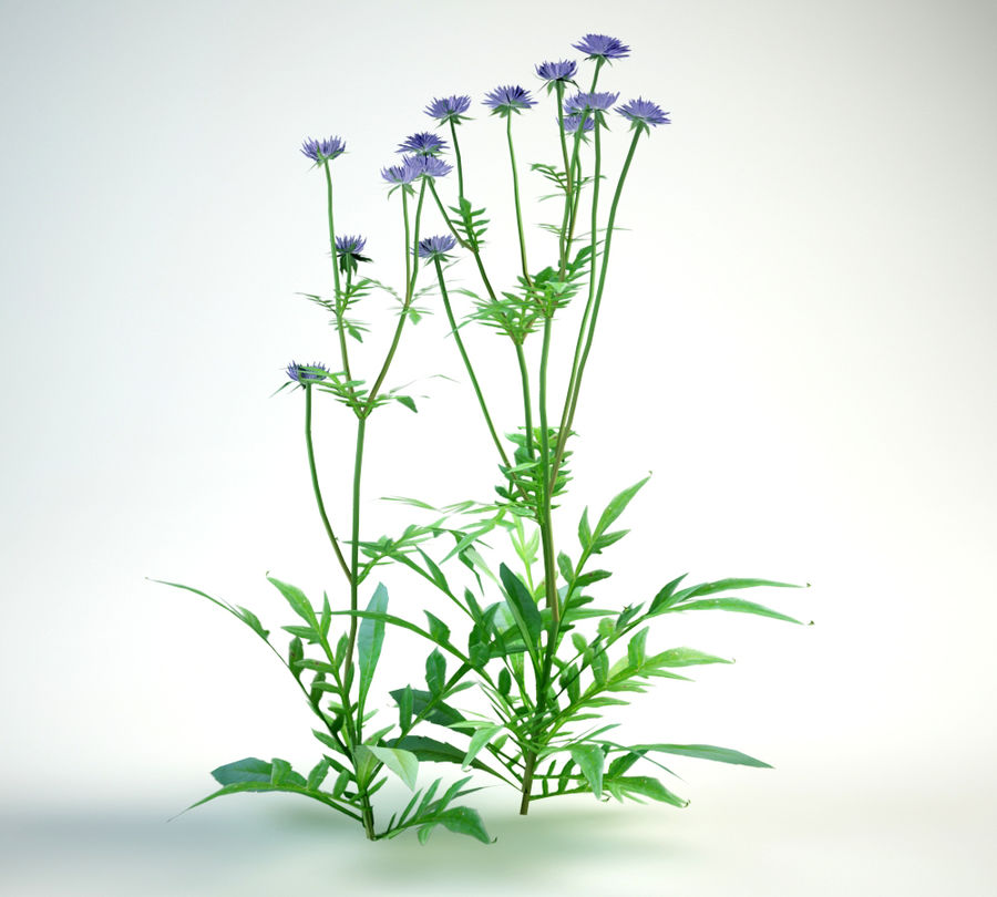 field scabious royalty-free 3d model - Preview no. 4