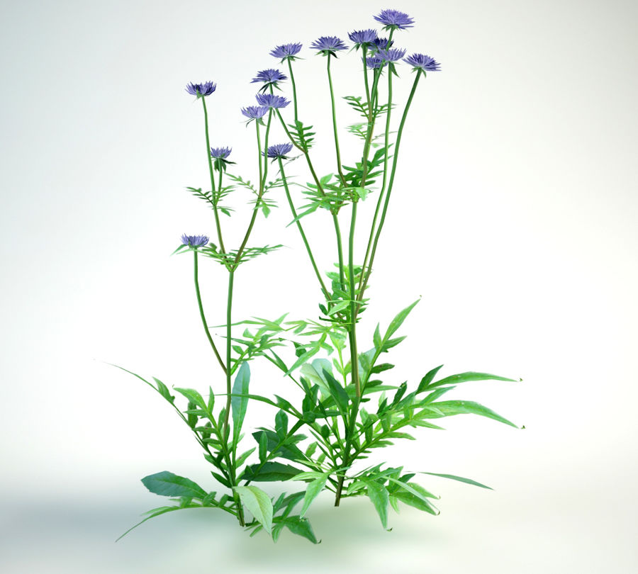 field scabious royalty-free 3d model - Preview no. 2
