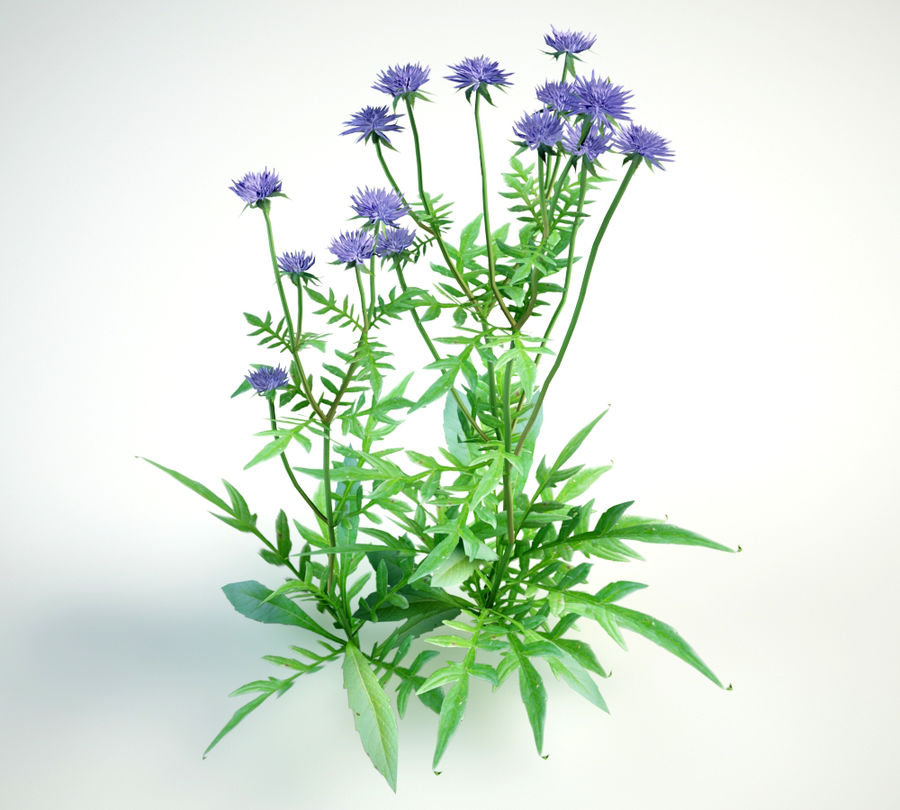 field scabious royalty-free 3d model - Preview no. 1
