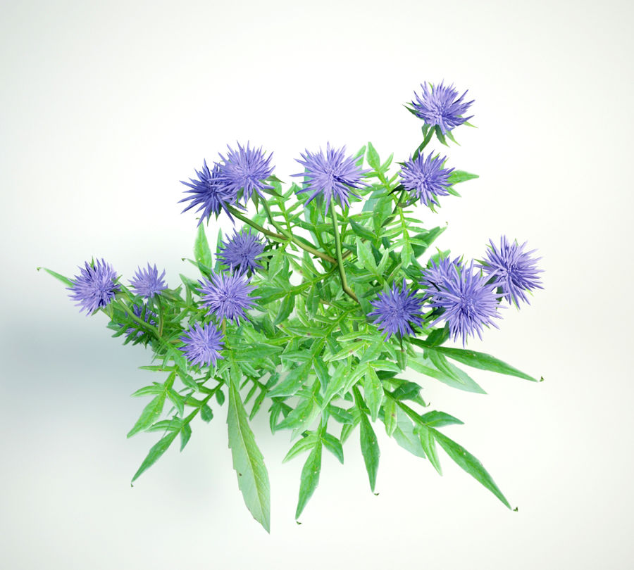 field scabious royalty-free 3d model - Preview no. 6
