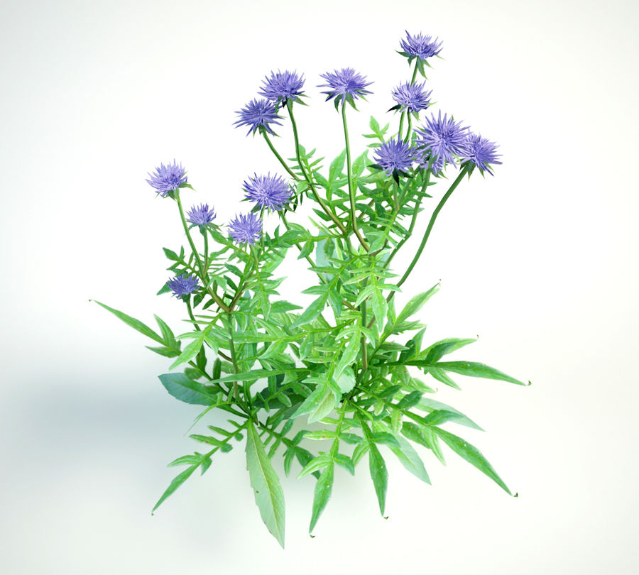field scabious royalty-free 3d model - Preview no. 5