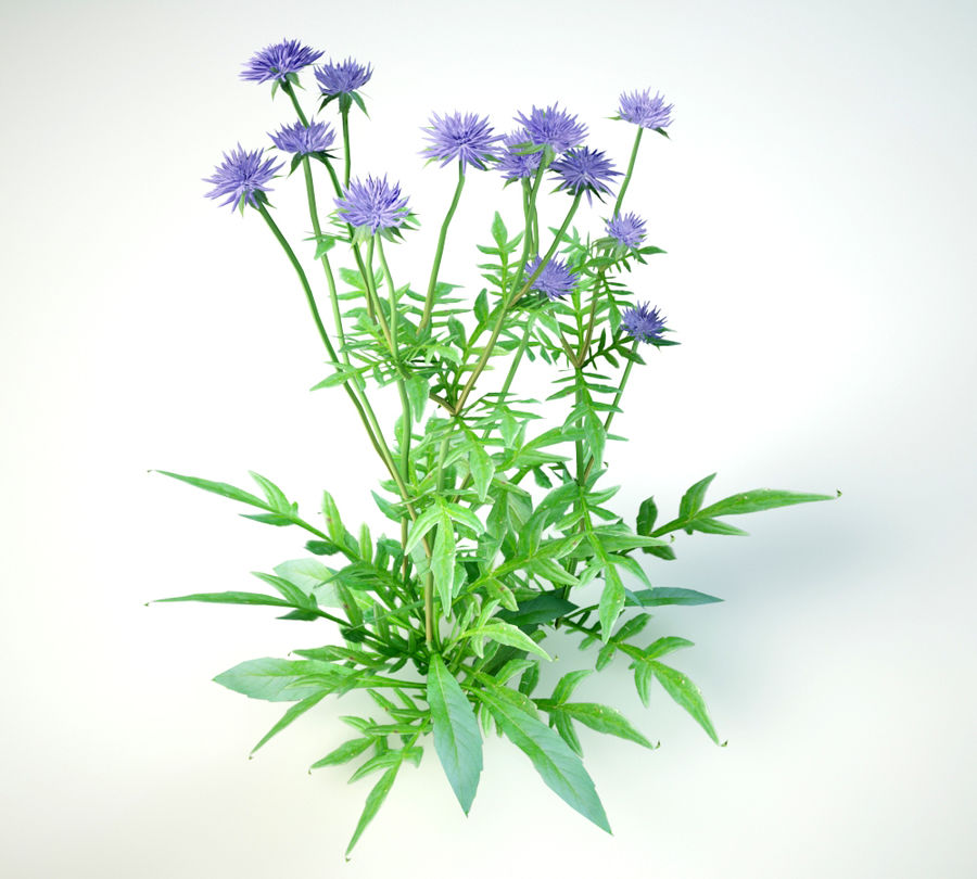 field scabious royalty-free 3d model - Preview no. 7