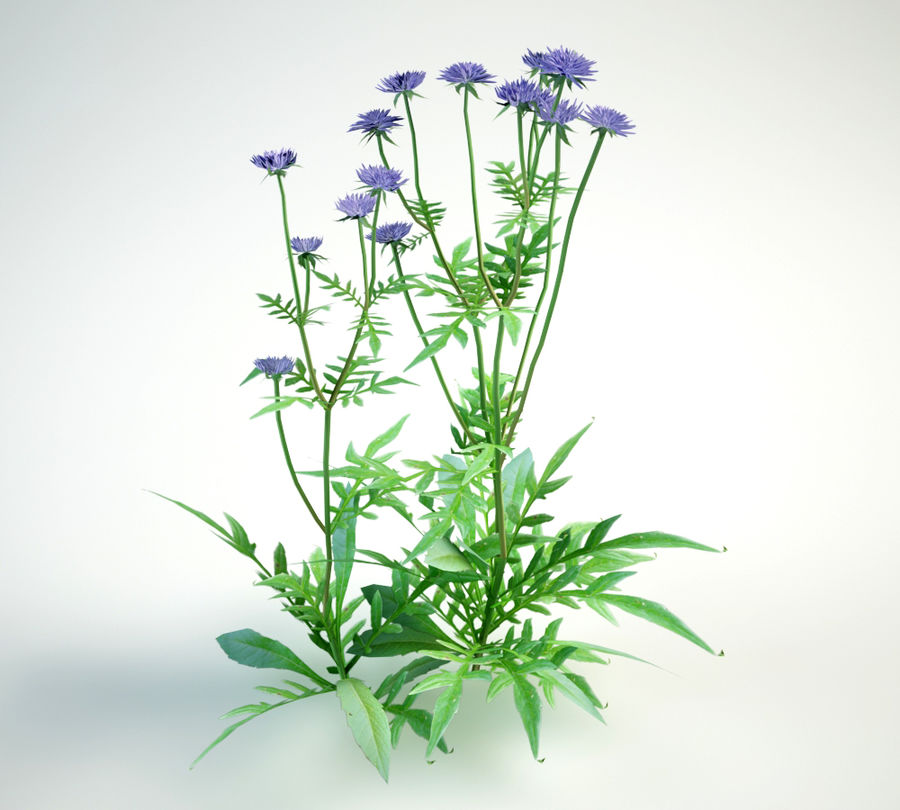 field scabious royalty-free 3d model - Preview no. 3