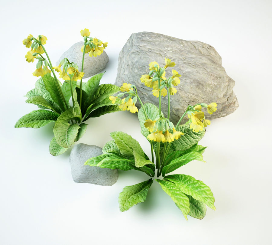 cowslip primula veris royalty-free 3d model - Preview no. 6