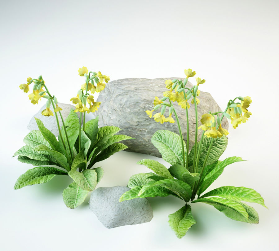 cowslip primula veris royalty-free 3d model - Preview no. 3