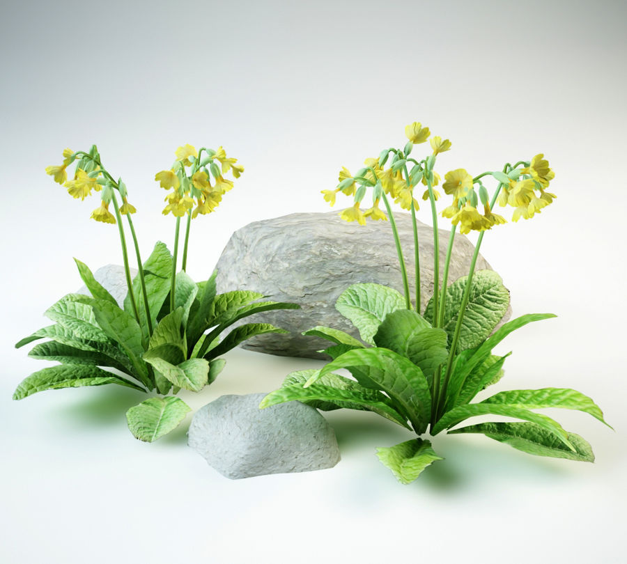 cowslip primula veris royalty-free 3d model - Preview no. 1