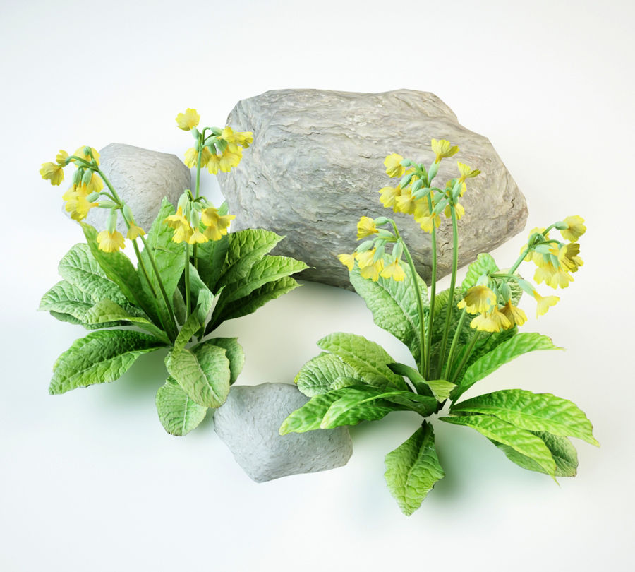 cowslip primula veris royalty-free 3d model - Preview no. 4