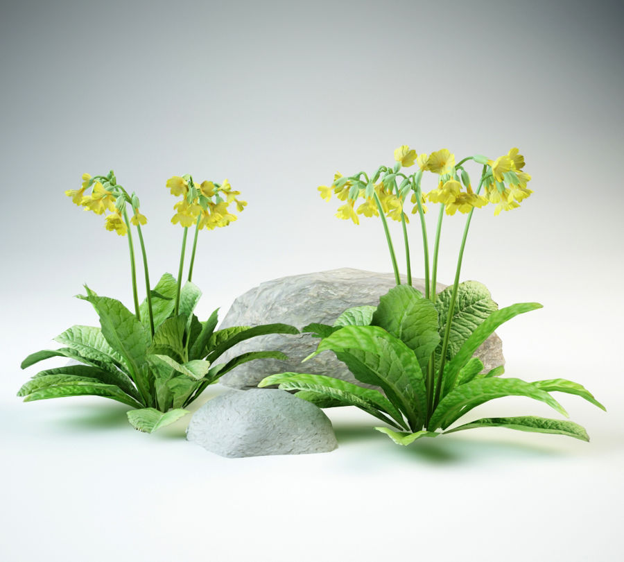 cowslip primula veris royalty-free 3d model - Preview no. 2