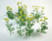 8 tansy set Tanacetum vulgare 3d model