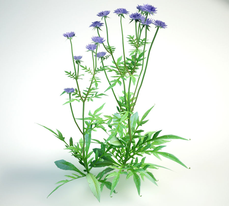 8 field scabious set royalty-free 3d model - Preview no. 11