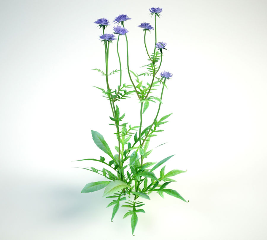 8 field scabious set royalty-free 3d model - Preview no. 9