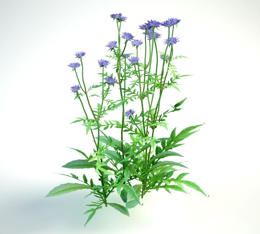 8 field scabious set royalty-free 3d model - Preview no. 12