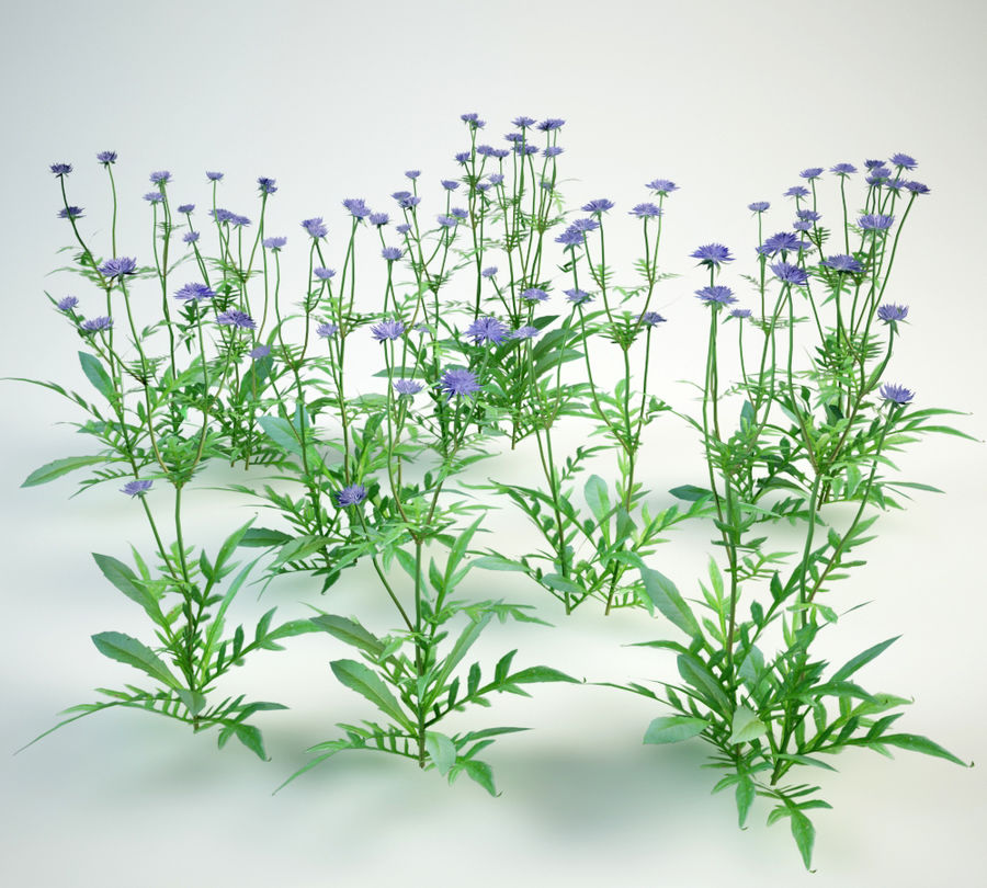 8 field scabious set royalty-free 3d model - Preview no. 2