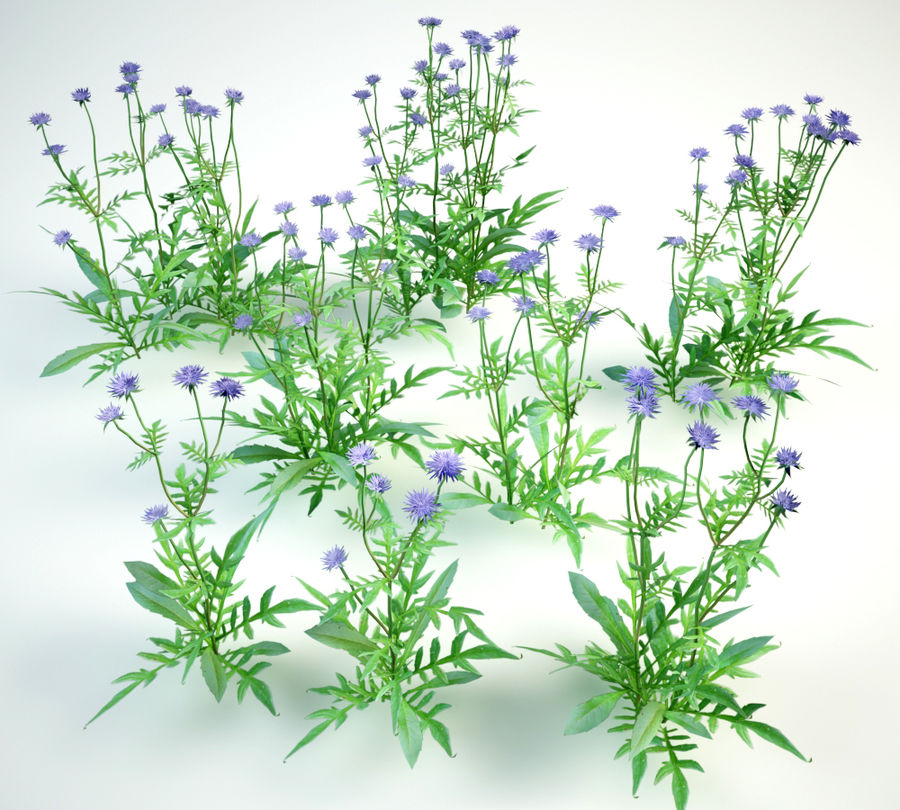 8 field scabious set royalty-free 3d model - Preview no. 4