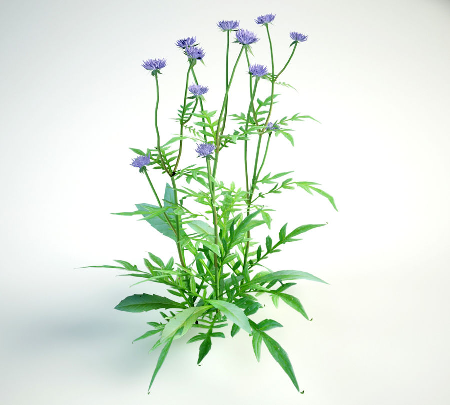 8 field scabious set royalty-free 3d model - Preview no. 10