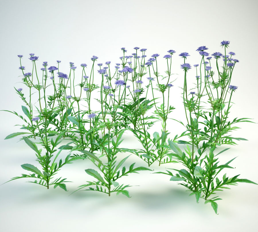 8 field scabious set royalty-free 3d model - Preview no. 1