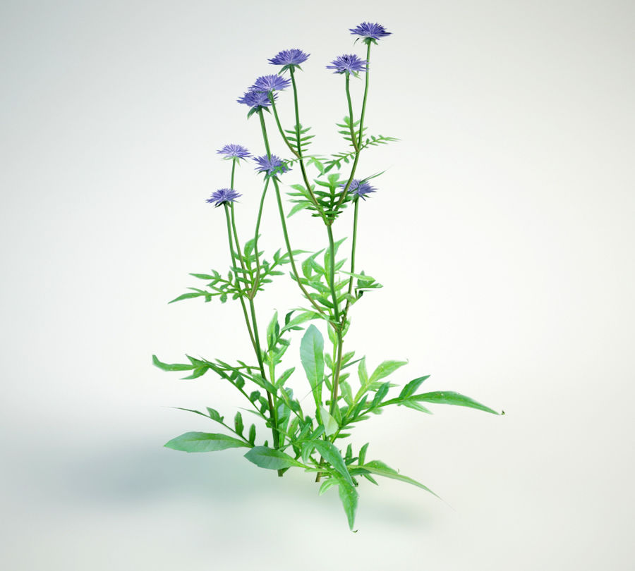 8 field scabious set royalty-free 3d model - Preview no. 6