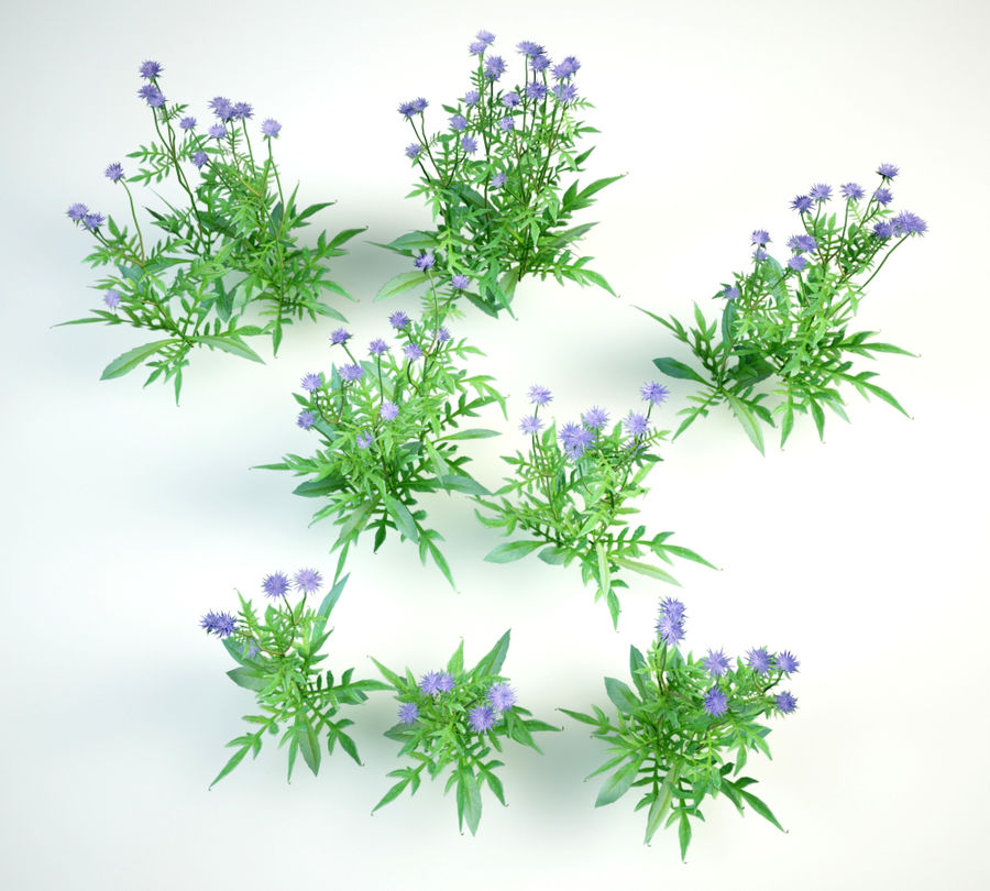 8 field scabious set royalty-free 3d model - Preview no. 5