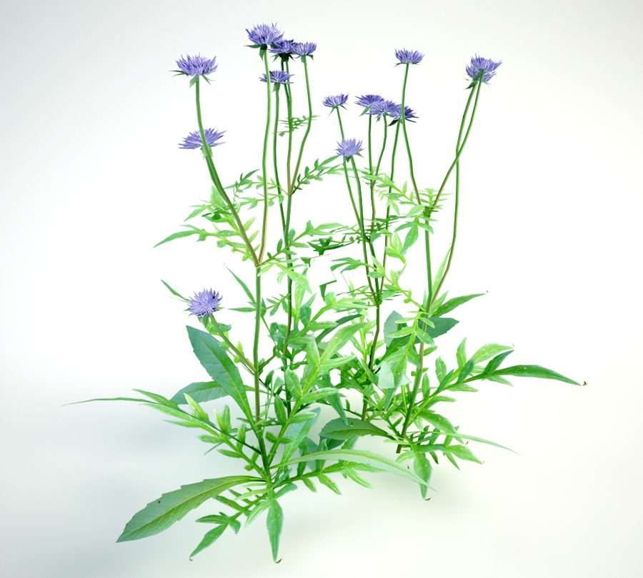8 field scabious set royalty-free 3d model - Preview no. 13