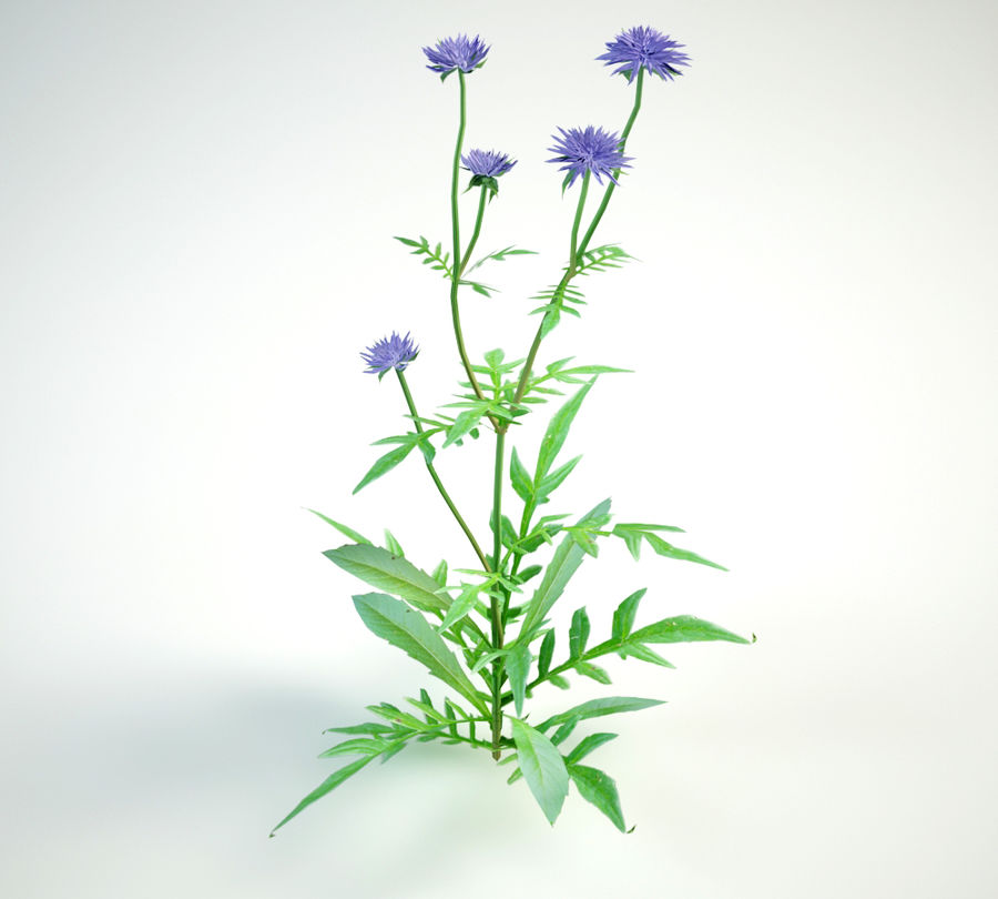 8 field scabious set royalty-free 3d model - Preview no. 7