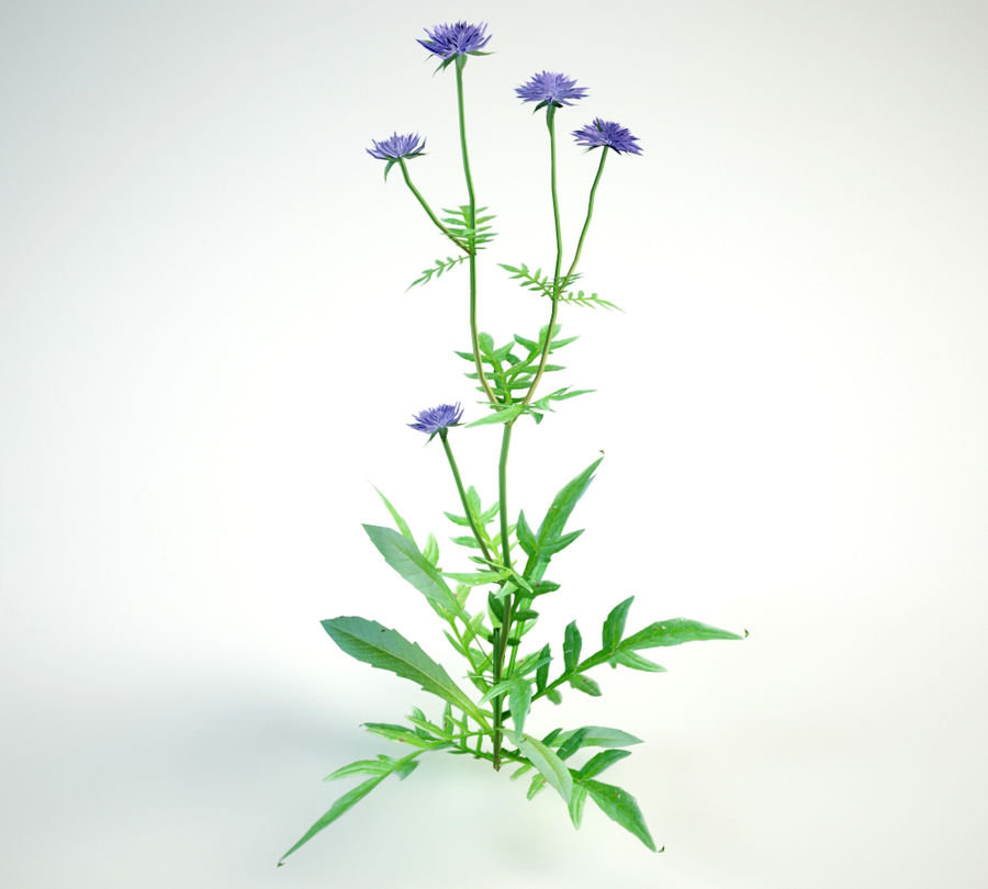 8 field scabious set royalty-free 3d model - Preview no. 8
