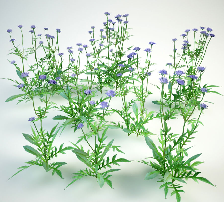 8 field scabious set royalty-free 3d model - Preview no. 3