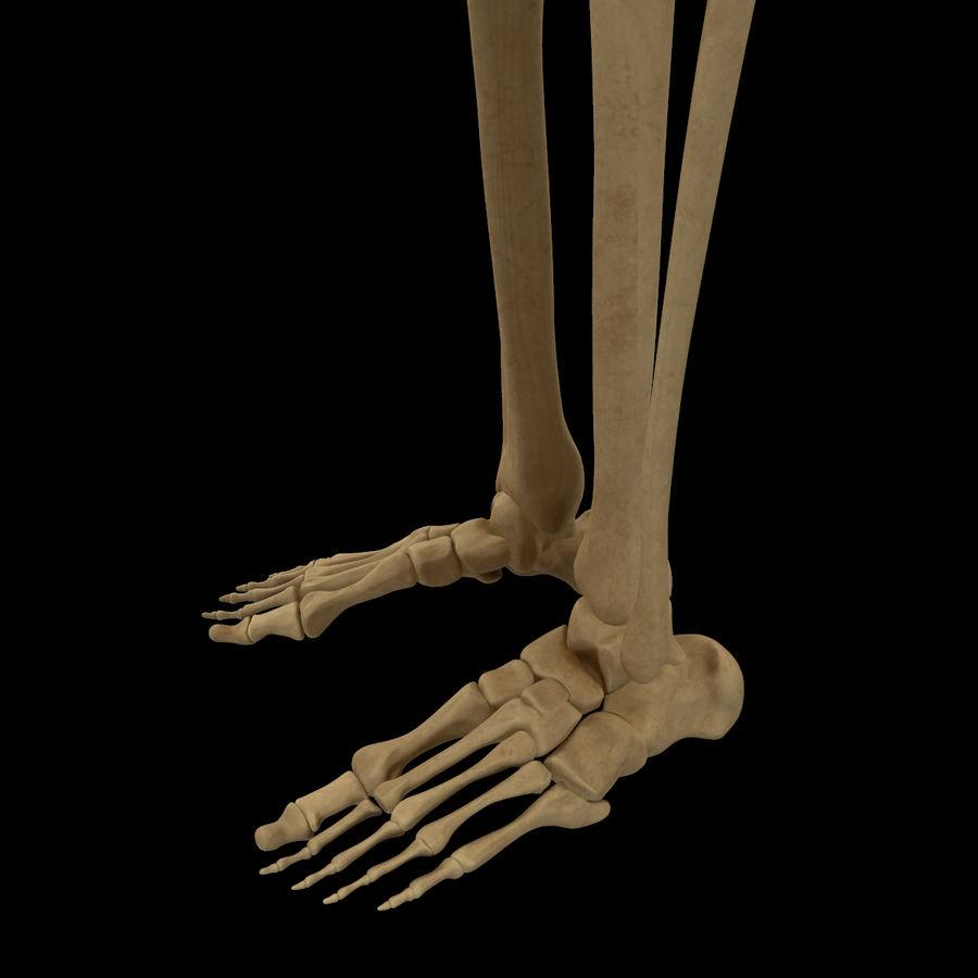 Anatomi Ben Fotben royalty-free 3d model - Preview no. 5
