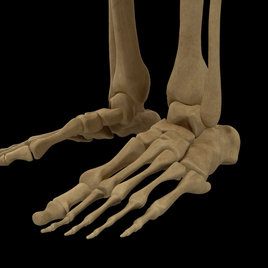 Anatomi Ben Fotben royalty-free 3d model - Preview no. 9