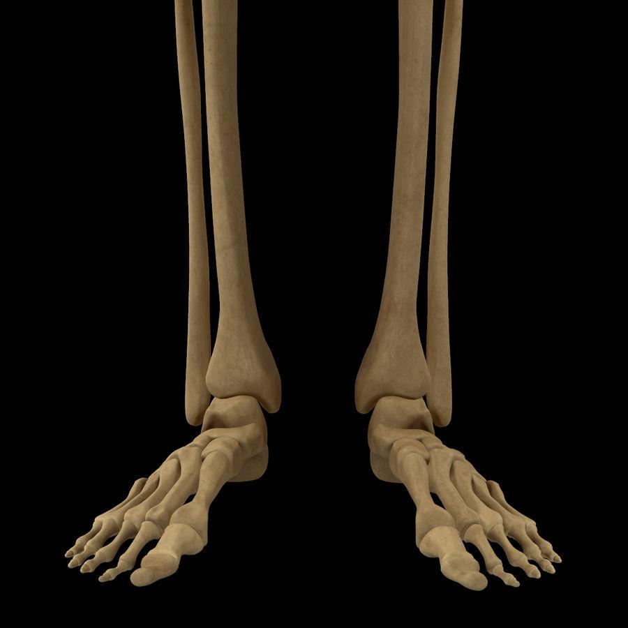 Anatomi Ben Fotben royalty-free 3d model - Preview no. 11