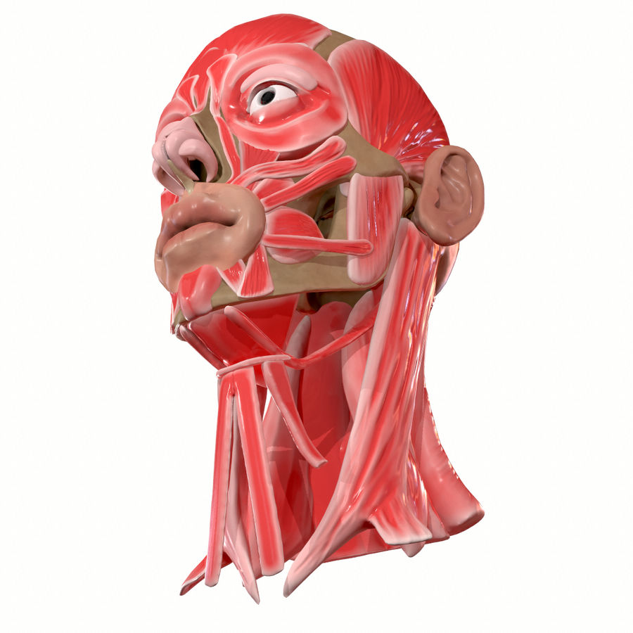 Hoofd gezicht spierstructuur anatomie royalty-free 3d model - Preview no. 8