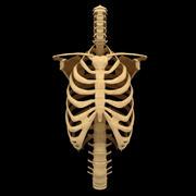 몸통 뼈 해부학 척추 갈비뼈 3d model