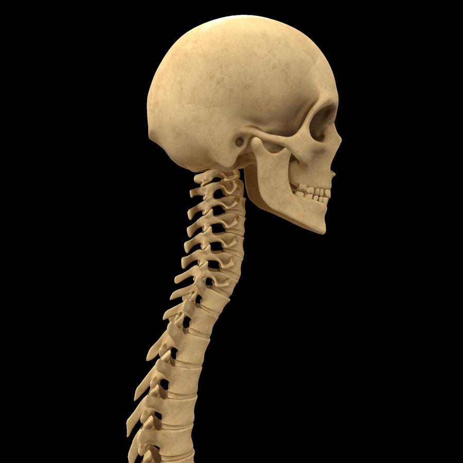 Spine Anatomy Skull Spinal Column royalty-free 3d model - Preview no. 6