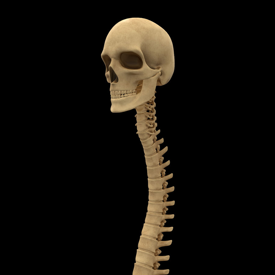 Spine Anatomy Skull Spinal Column royalty-free 3d model - Preview no. 10