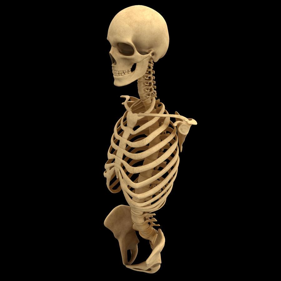 Анатомия скелета всего тела royalty-free 3d model - Preview no. 13