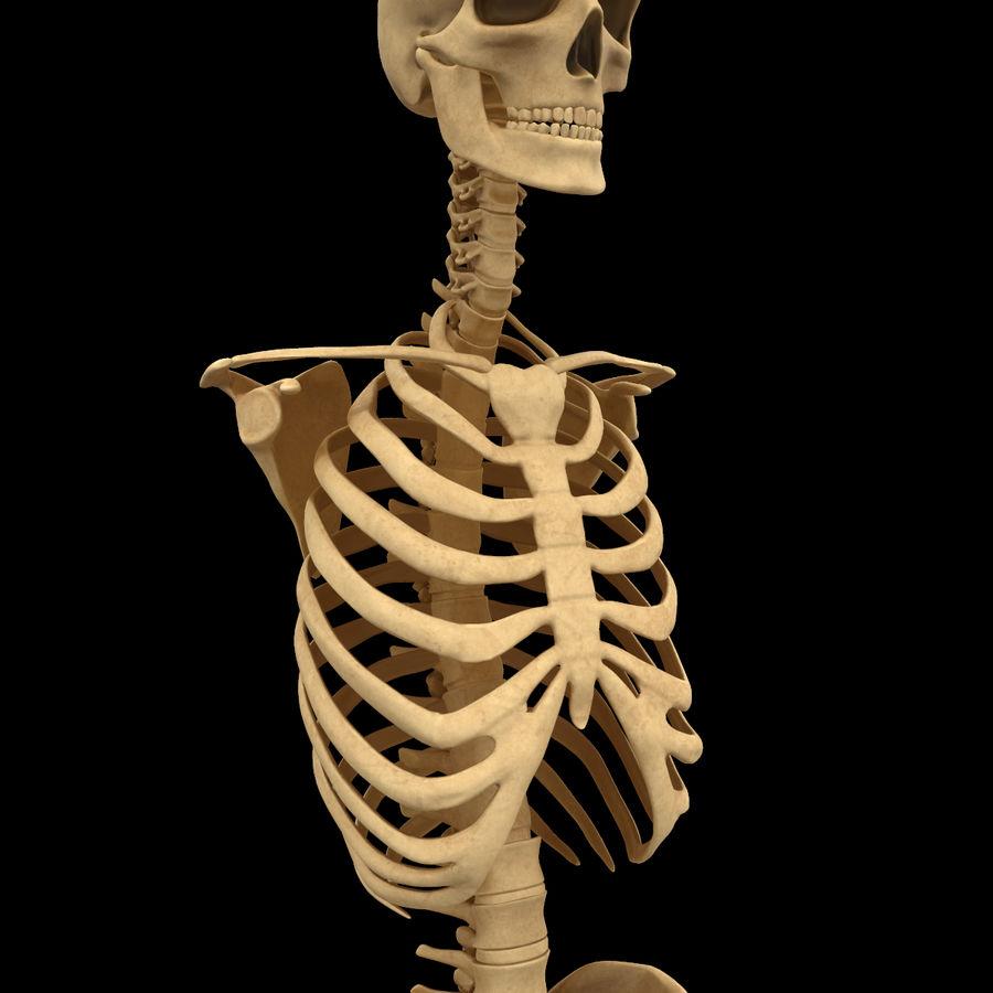 Анатомия скелета всего тела royalty-free 3d model - Preview no. 23