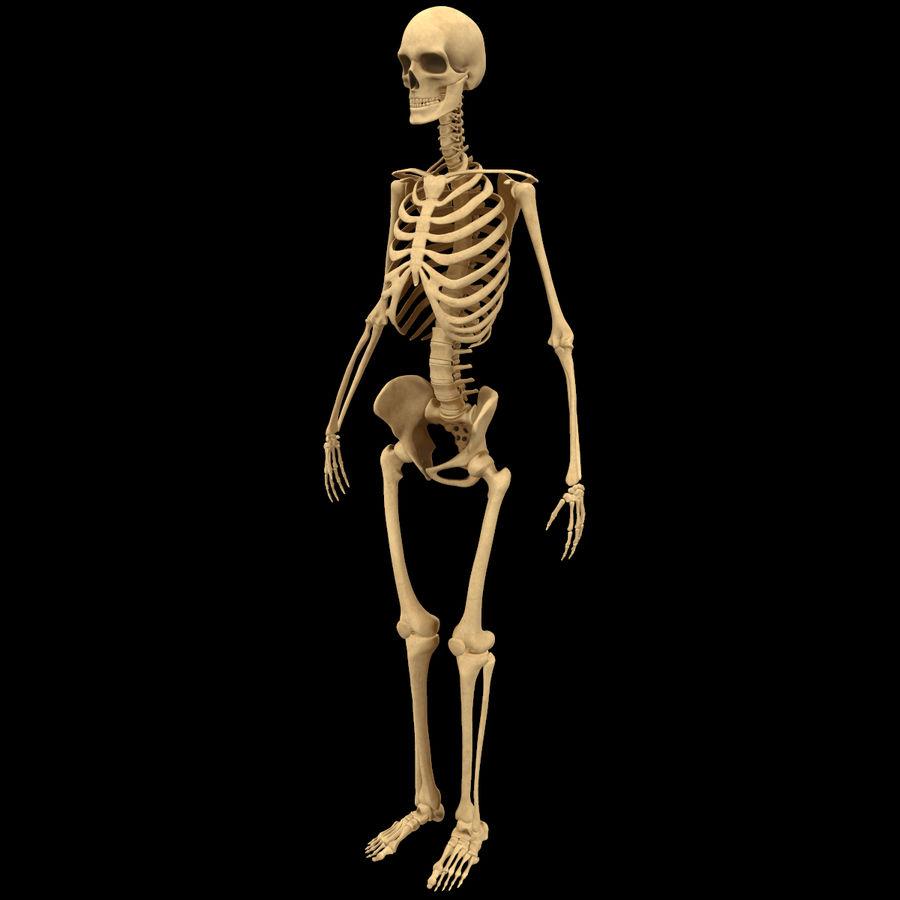 Анатомия скелета всего тела royalty-free 3d model - Preview no. 2